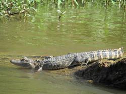Aligator des marécages