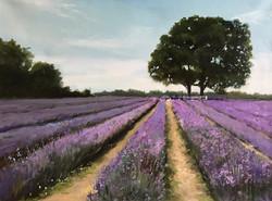 Mayfield Lavanders Farm 30x40cm oil on canvas £250