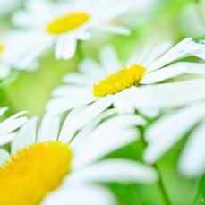 138_marigold.jpg