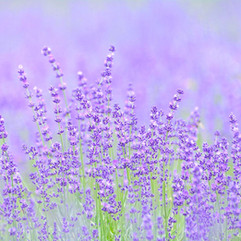 141_lavender.jpg