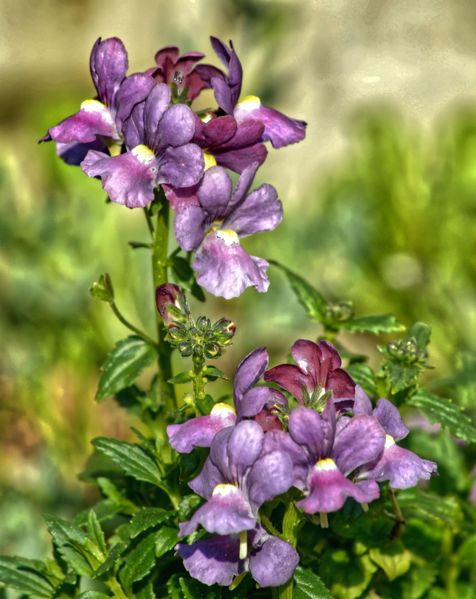 Fleur Nemesia