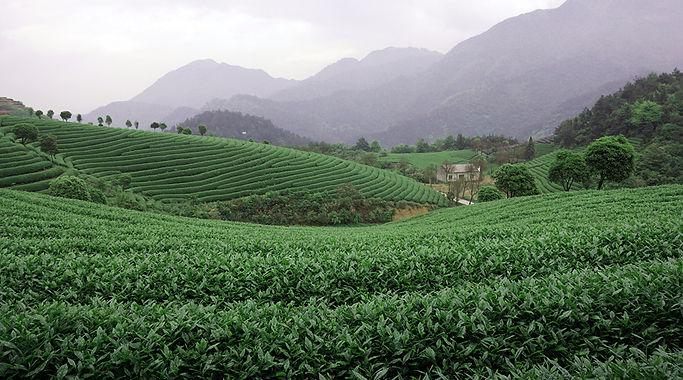 Tg-Green-Teas-plantation-image.jpg