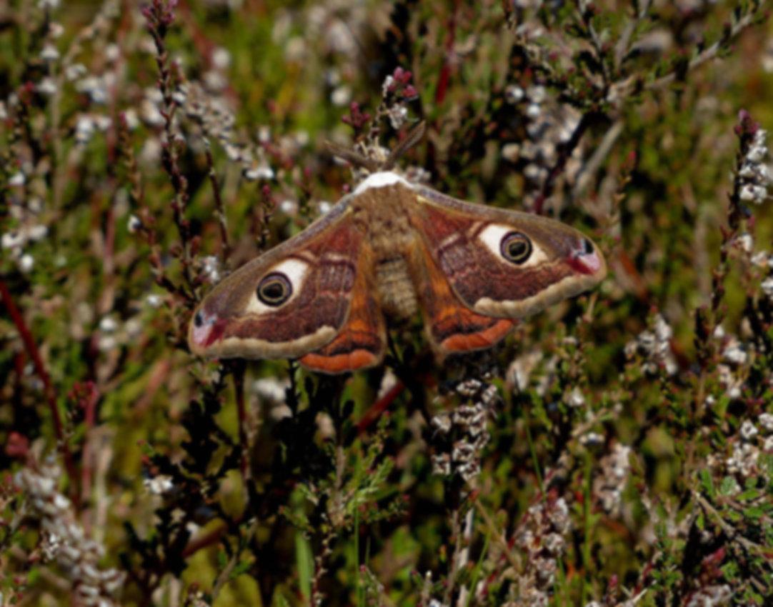 4 Emperor moth, male 1.JPG