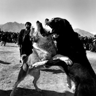Dog fights in one of Kabul's suburbs. Afghnas are particularly keen on animal fights and they usually take place on Fridays. Large crowds gather to watch and to bet on the fights. Each dog represents one of the neighborhoods of Kabul and has its supporters from that area. As the Kabul neighborhoods are strongly divided by ethnicity, religion and economics, these fights reproduce the long civil war that ripped the country to pieces in the 1990's.  © Paolo Woods / Anzenberger