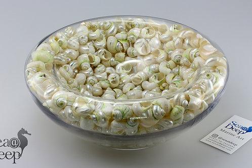 Seashell - SS130