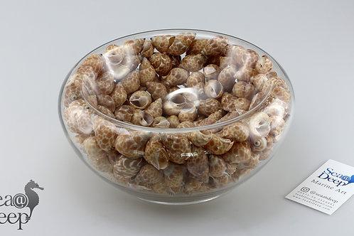 Seashell - SS129
