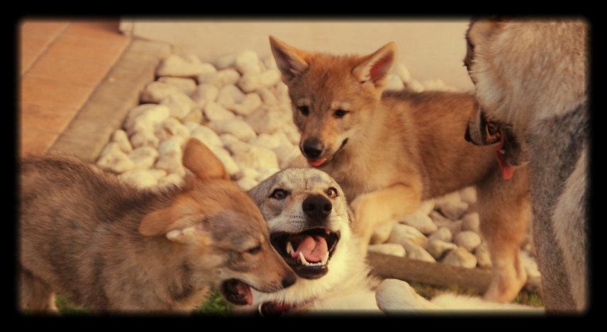 Glock Pack Kennel selezione cane lupo cecoslovacco