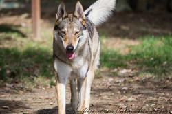 joy cane lupo cecoslovacco