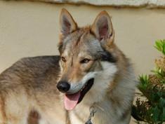 La razza: il cane lupo cecoslovacco