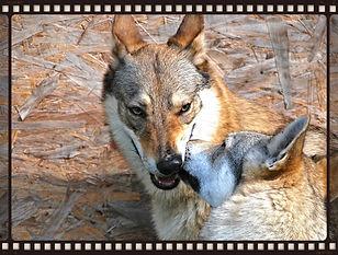Glock Pack Kennel Cuccioli Cane Lupo Cecoslovacco Verona