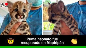 El pequeño felino recibirá crianza artificial para garantizar su desarrollo