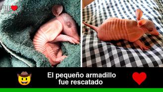 Encuentran armadillo neonato en la vereda Buenavista de Villavicencio
