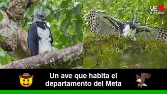 El águila Harpía (Harpia harpyja), la más grande de Colombia
