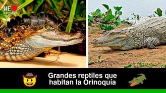 5 especies de caimanes que se pueden encontrar en la Orinoquía
