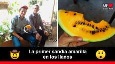 Llegó a los llanos colombianos la sandía amarilla o sandía melón