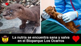 Rescatada la nutria bebé que se encontraba en inmediaciones del río Ocoa en Villavicencio