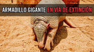 Expertos alertan sobre peligro de extinción del Armadillo Gigante
