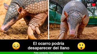 En peligro el armadillo más grande del mundo que habita los Llanos Orientales