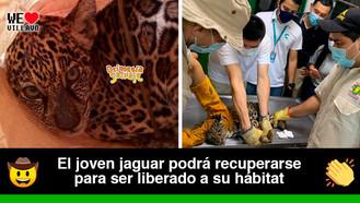 Jaguar rescatado se encuentra en el Bioparque los Ocarros recibiendo atención médica
