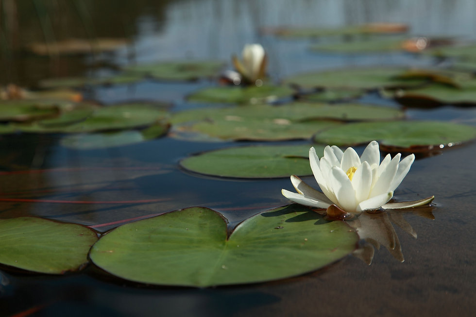 Floatation Therapy Berwick - White water lily on glassy water