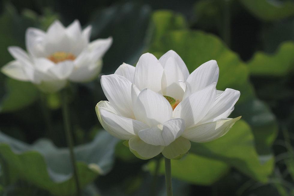 Facial Enhancement Acupuncture in Berwick - White lotus flowers