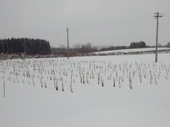 冬のあおもりカシス