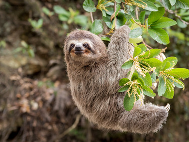 Common Sloth on jungle.jpg