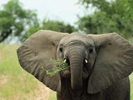 Baby elephant looks angry with grass in