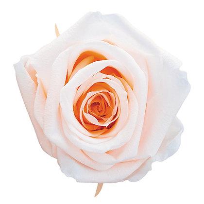 FL0350-04 Duet Rose Mediana
