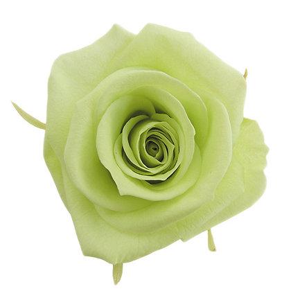 FL0300-64 Mediana Rose