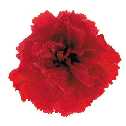 INNCVSM-15-05 Mini Carnation