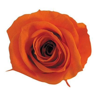 BOX OF 8 BLOOMS ROSP-8-29 Tangerine Orange