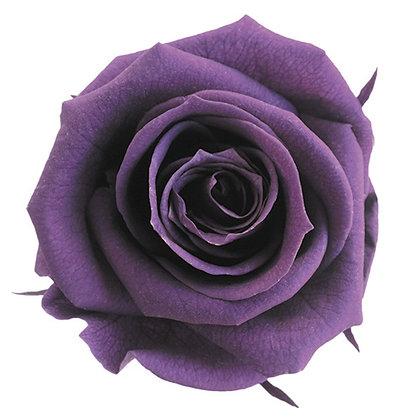 FL0300-18 Mediana Rose