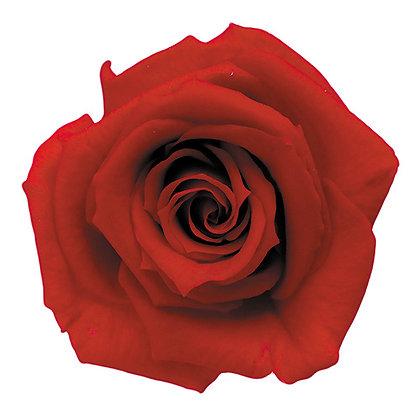 INNROBB-15-05 Baby Rose