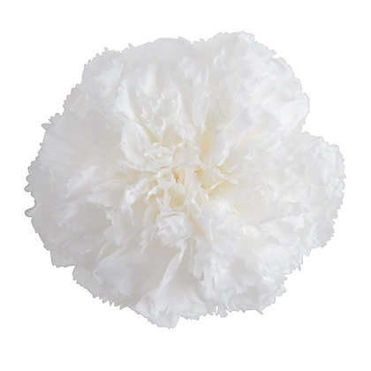 FL1300-01 Premium Carnation