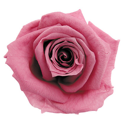 INNROBB-15-20 Baby Rose