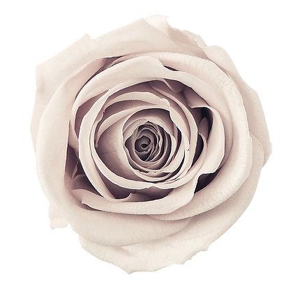OHC-03070-081 Rose Nonno Champagne