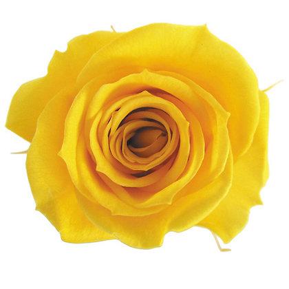 BOX OF 8 BLOOMS ROSP-8-17 Golden Yellow
