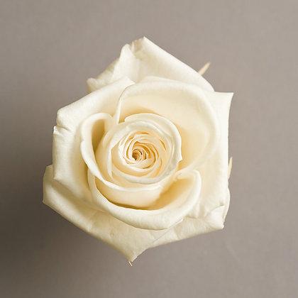 FL0200-00 Moonlight Rose