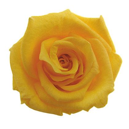 INNROBB-15-17 Baby Rose