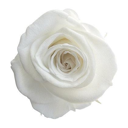 FL0300-01 Mediana Rose