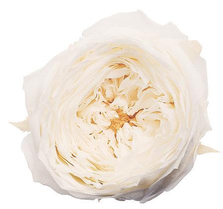 BOX OF 8 BLOOMS OHC02460-011 Rose Temari White