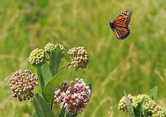 Monarch landing on milkweed flower