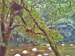 epifita mossman river 2 (Medium).jpg