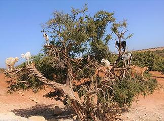 Cabras na argânia (Medium).jpg