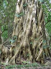 Ficus citrifolia figuier maudit minha.JP