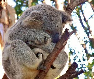 coala 2 (Large).jpg