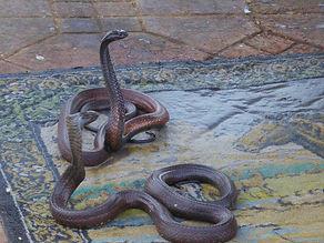 Encantador de serpentes em Marraquexe 3