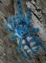 Avicularia versicolor minha 2.JPG