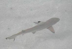 caribbena shark reef minha.jpg